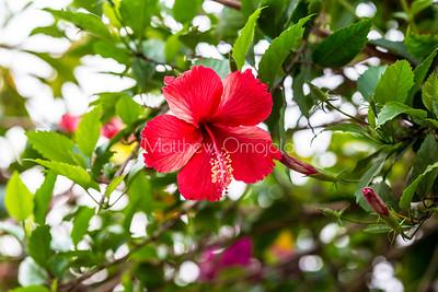 Red flower. Red hibiscus flower. Lekki Lagos Nigeria.