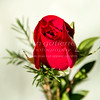 Single rose bud