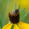 Bee on Coneflower Macro