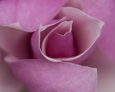 Pink Magnolia 2453