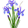 Irises in Color