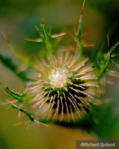Thistle with dew