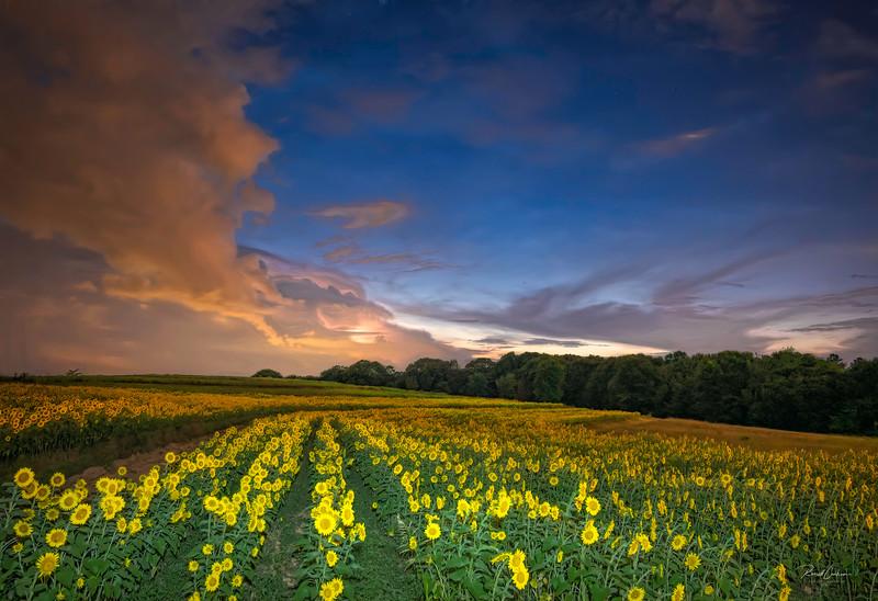 Heat Lightning Over Sunflower Field (2)