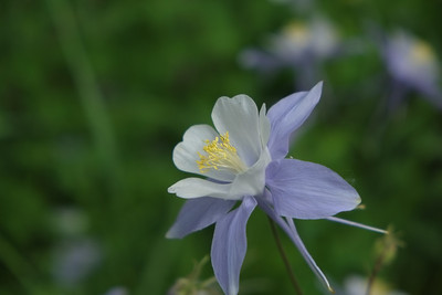 Colorado Columbine 2