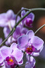 Pink veined moth orchids