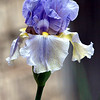 My Periwinkle Colored Bearded Iris