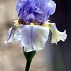 My Periwinkle Colored Bearded Iris