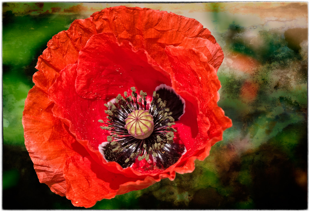 Poppy with Texture
