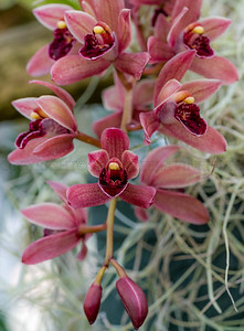 Hanging Orchid Spray