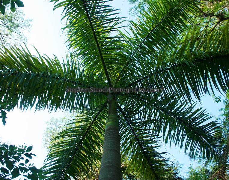 This is a Royal  Palm  tree rarely seen in the wild.