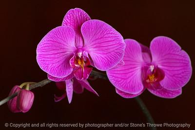 017-flower_orchid-dsm-17feb06-c2-0076