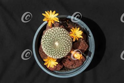 Top View of Arenaceous Crown Cactus Sulcorebutia arenacea Nursery Stock Specimen with Tiny Orange Flowers