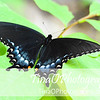 Blue Swallowtail Butterfly