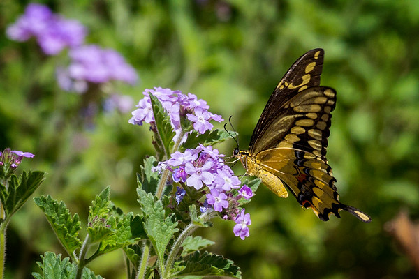 Swallowtail Butterfly, Tohono Chul Park, Tucson, AZ