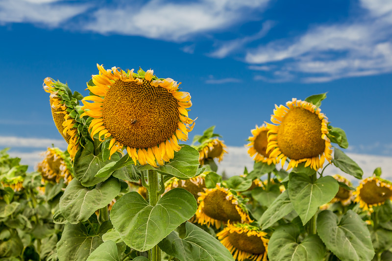 California Sunflower Fields 3