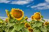 California Sunflower Fields 3