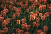 Morning Tulips (#0421)