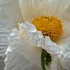 Matilija Poppy Closeup