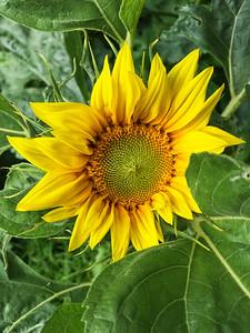 Open sunflower