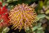 Santa Cruz Arboretum flower