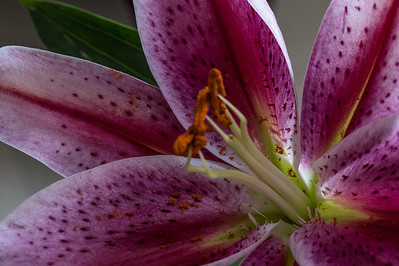 Stargazer Lily close up
