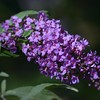 Butterfly Bush n Bloom