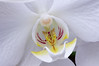 White orchid flower.