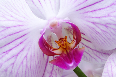 Pink veined orchid.