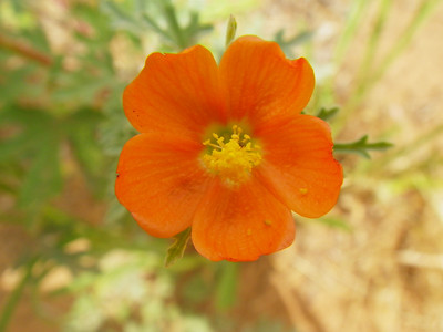 Sphaeralcea - Globemallow