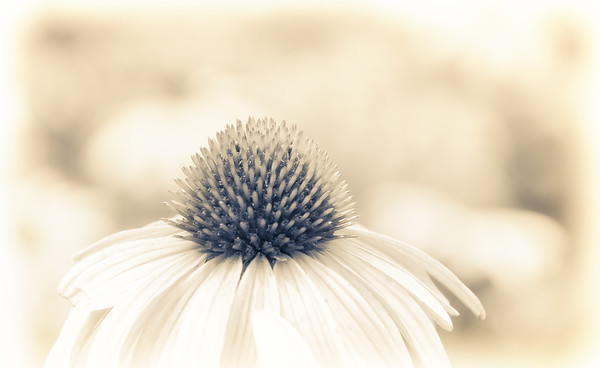 Cone Flower Dreams