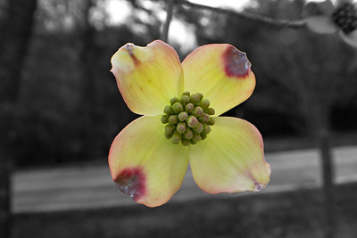 Dogwood bw background