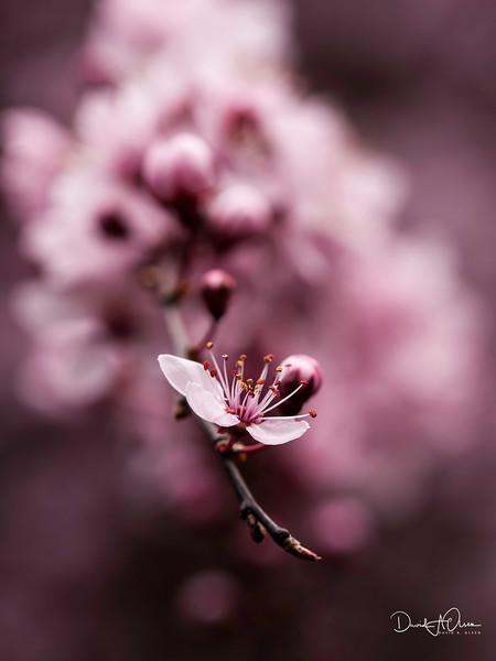 Plum Blossom I