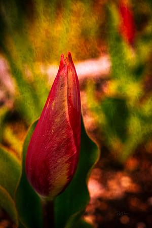 Tulip birth