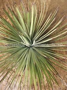Yucca Spread