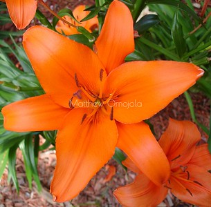 Lilium bulbiferum, Close up orange lily. Orange flower