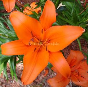 Lilium bulbiferum, Close up orange lily. Orange flower