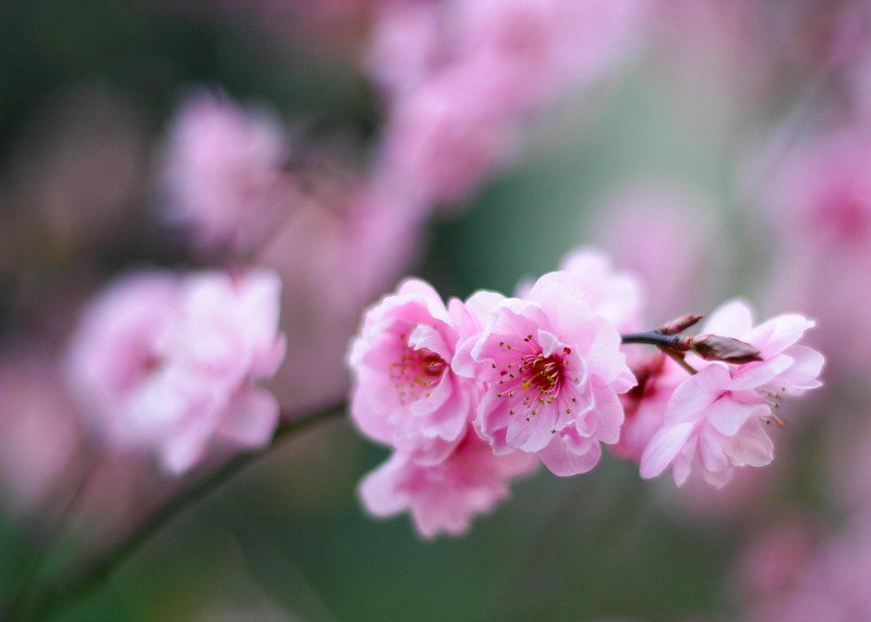 Plumb Blossoms 5x7