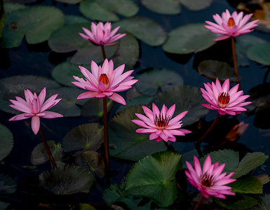 Sukhothai Waterlilies