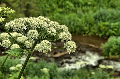 Apiaceae -  Heracleum sphondylium - Cow Parsnip