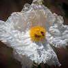 Matilija Poppy & Bees 9587