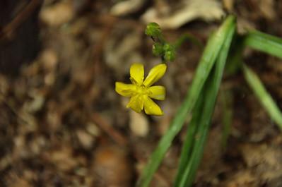 Hypoxidaceae -  Hypoxis hirsuta - Yellow Star Grass