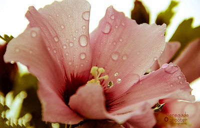 rose of sharon-