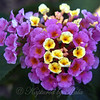 Pink and Yellow Lantana With Tiny Ant