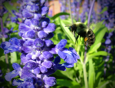 Bee hovering over Blue Salvia