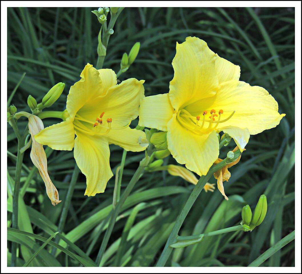 Lemon Yellow Lilies