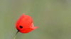 Common Poppy / Papaver rhoeas / Gewone klaproos
