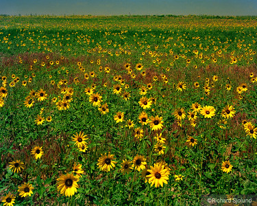 Sunflower field in Kansas