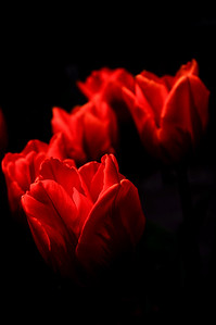 Tulipfire 2