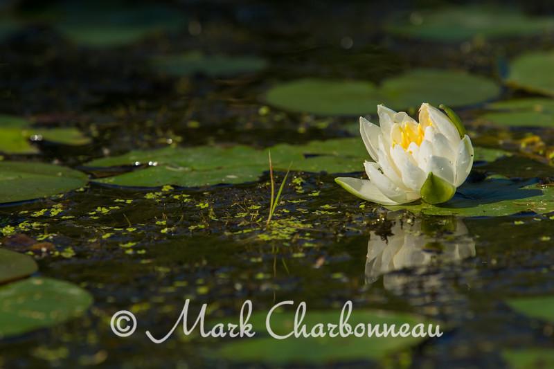 American White Waterlily horizontal