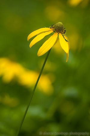 Wild yellow coneflower on the Blue Ridge Parkway.